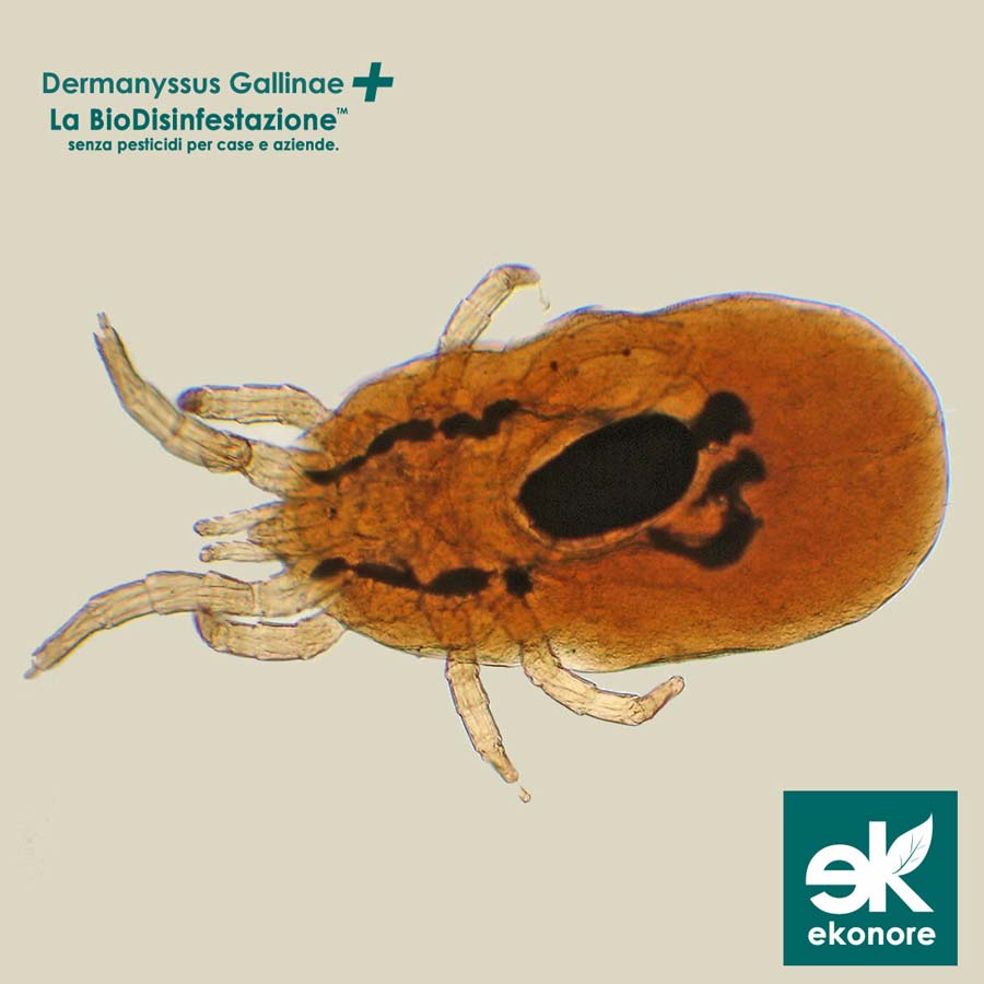 Disinfestazione Dermanyssus Gallinae Acaro rosso Roma