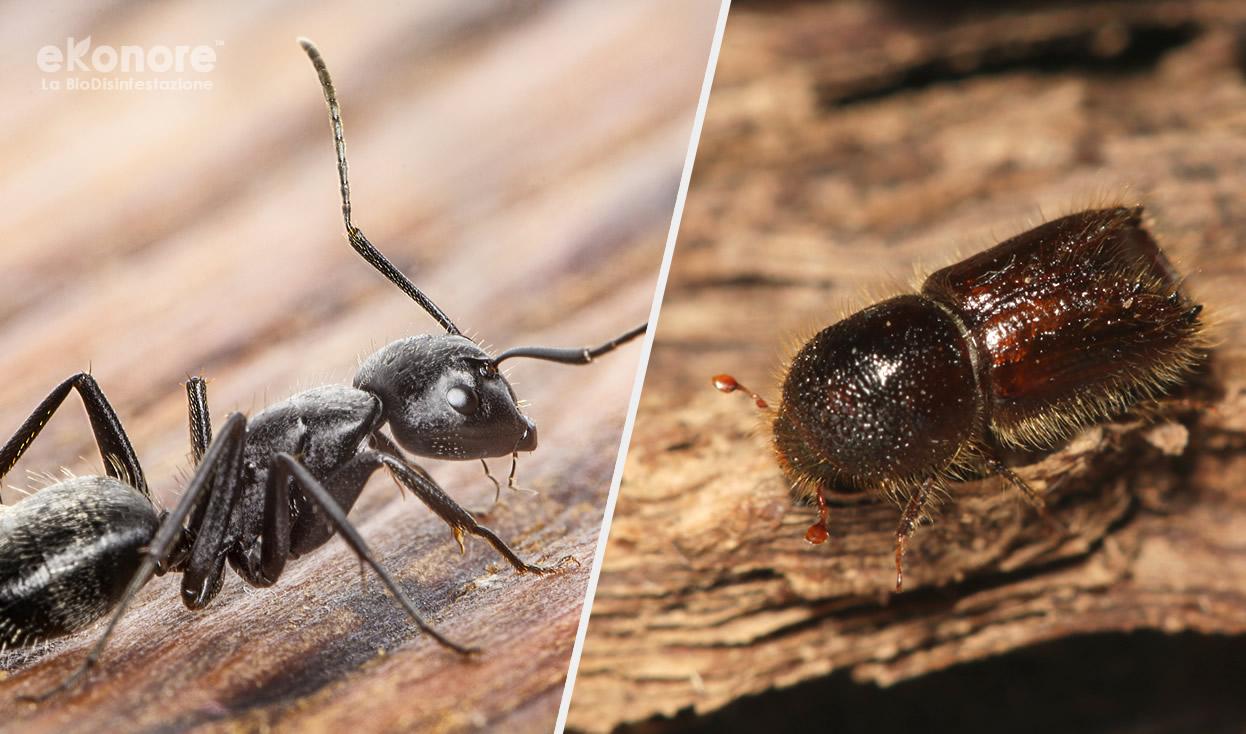 Riconoscere i tarli dalle termiti o formiche legno